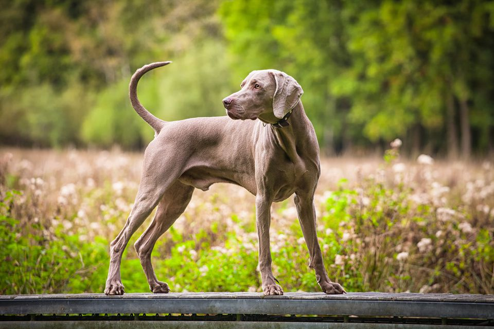 Adult weimaraner outside