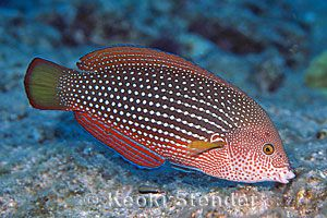 Pearl Wrasse (Anampses cuvier)