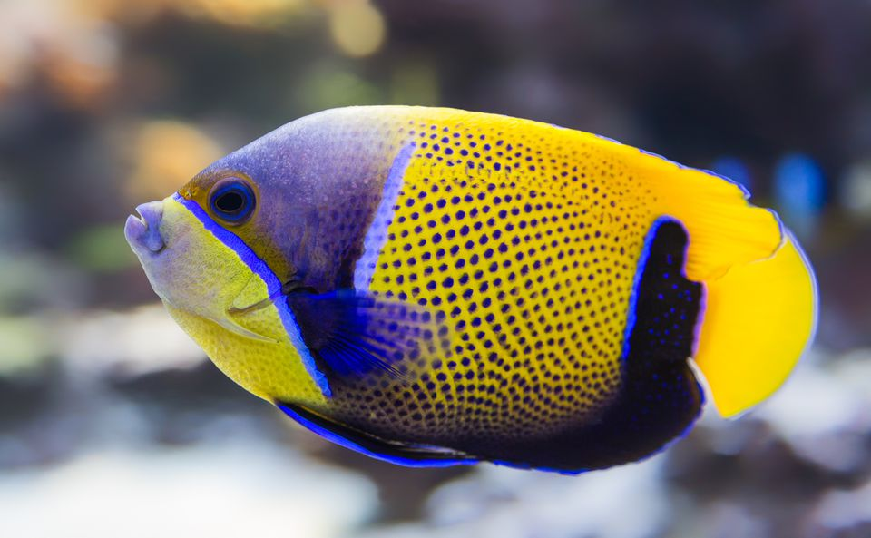 Blue-Girdled angelfish (Pomacanthus narvarchus)