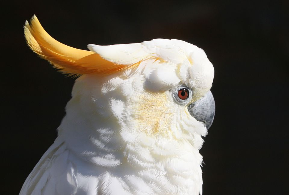 Sumba Citron Crested Cockatoo