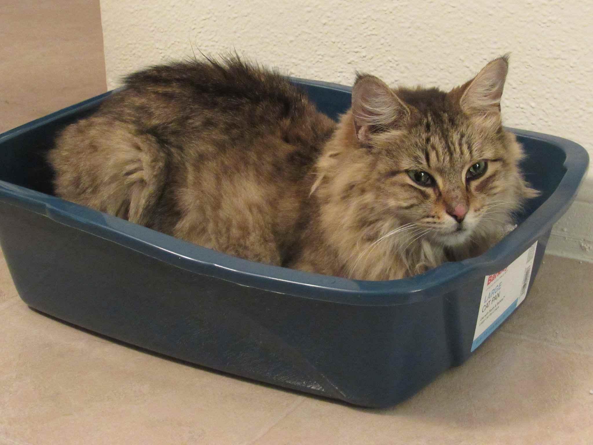 Gato marrón de pelo largo sentado en una caja de arena