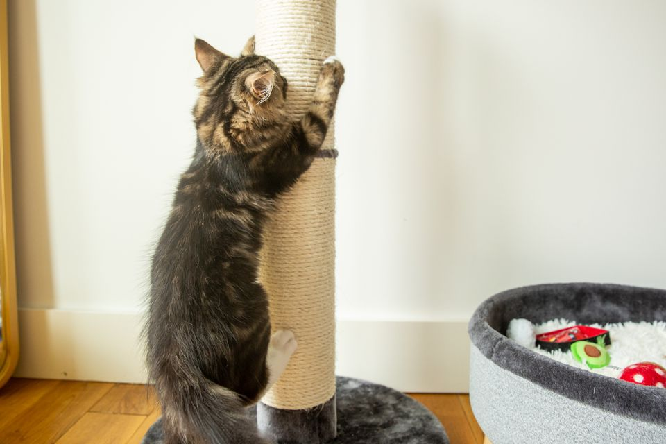 Brown and tan cat holding on to a scratching pole