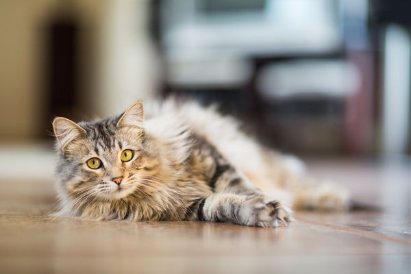 A Maine Coon cat laying on the ground.