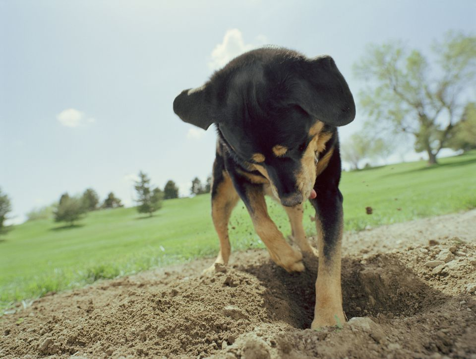 Puppy digging