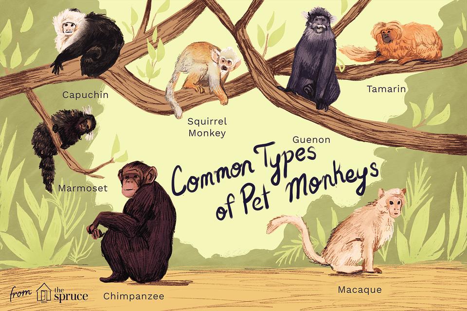 common types of pet monkeys illustration
