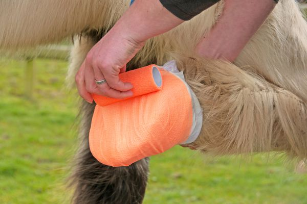 Person providing first-aid to a horse