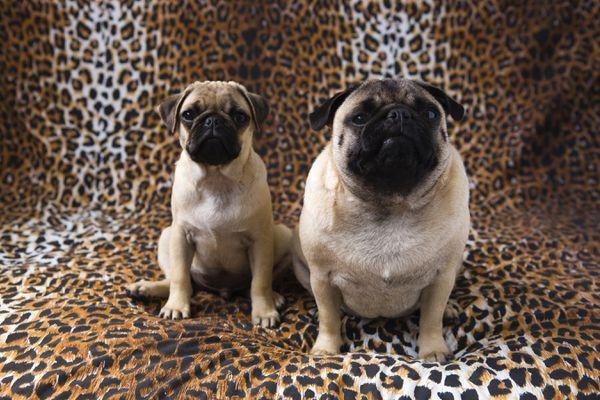 A skinny pug next to a fat pug