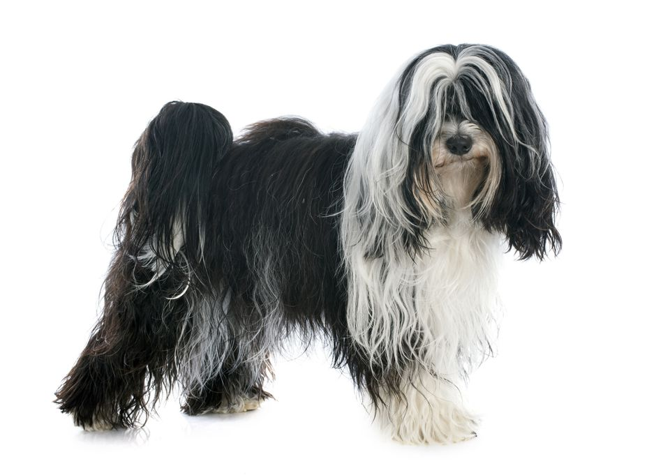 Black and White Tibetan Terrier