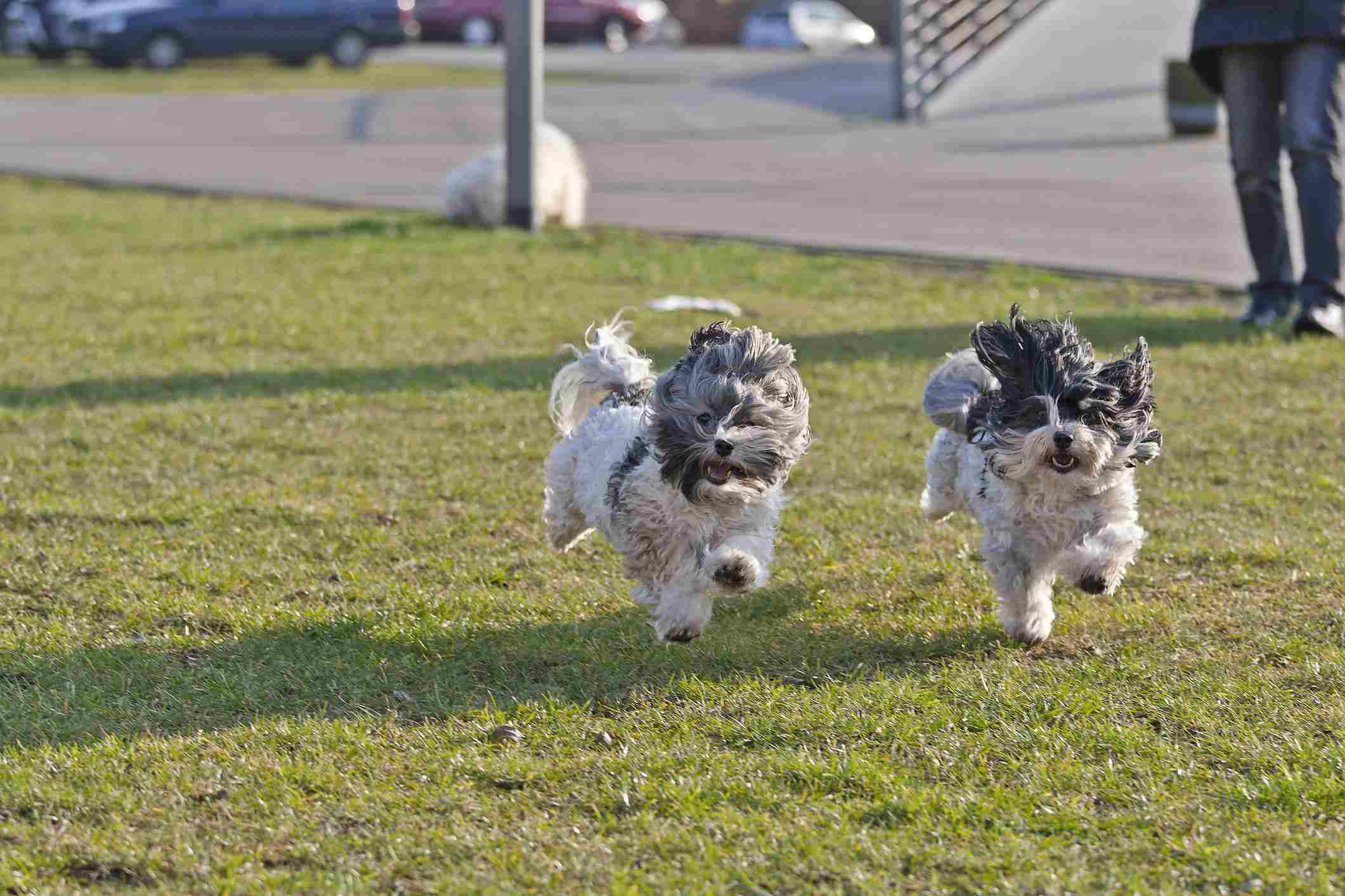 Running havanese dogs