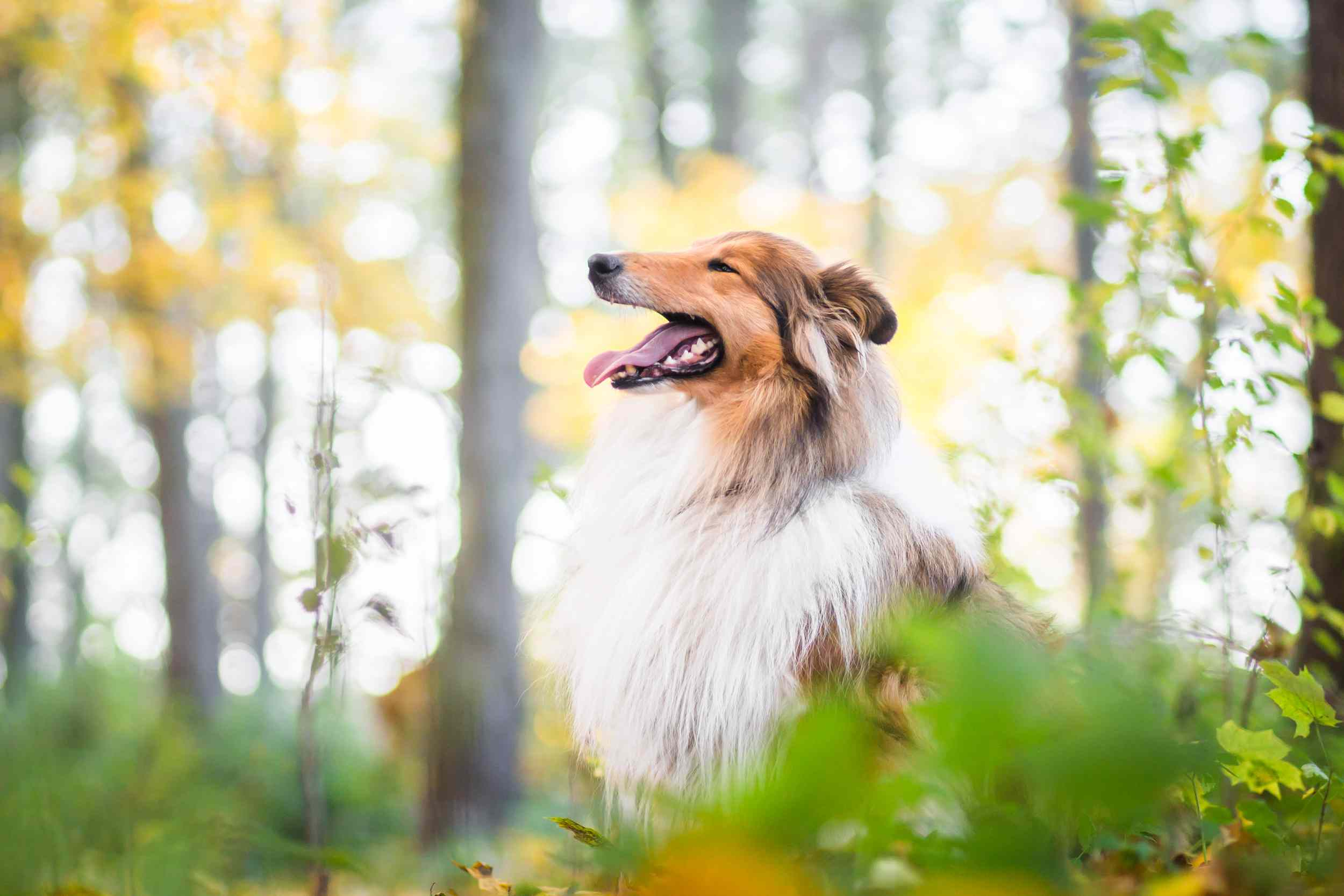 Side profile of rough collie in the forest