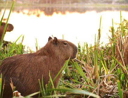 Close up of capybaras in grass by water