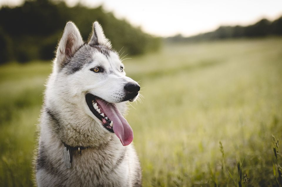 Husky smiling sitting in grass field