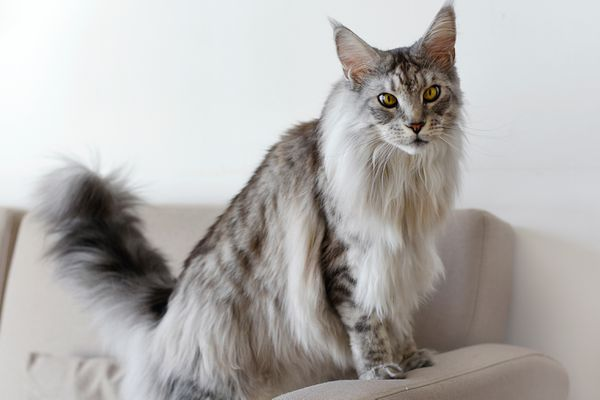 Large main coon cat with gray and white fur standing on couch arm rest