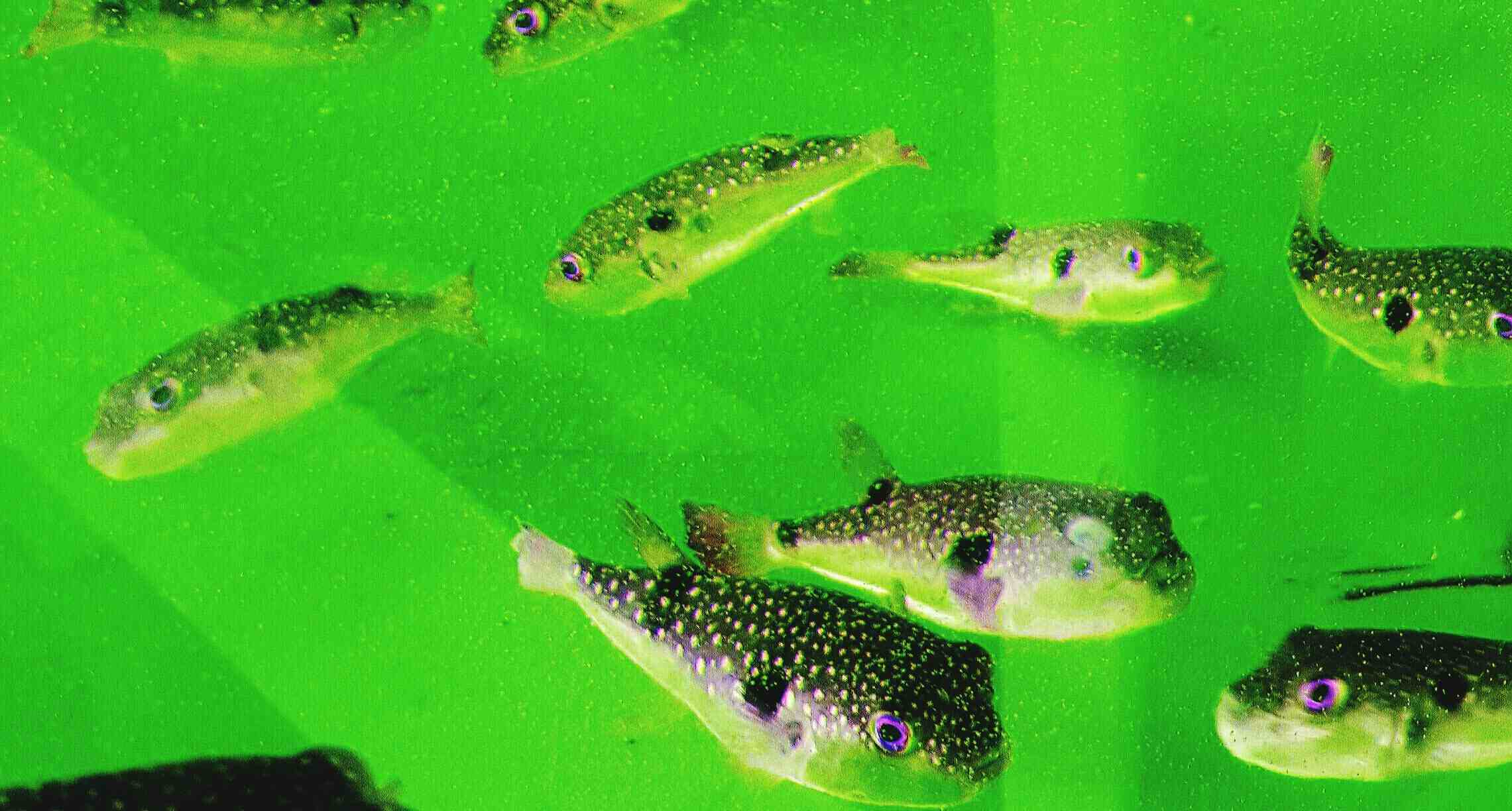 Green water in an aquarium with fish