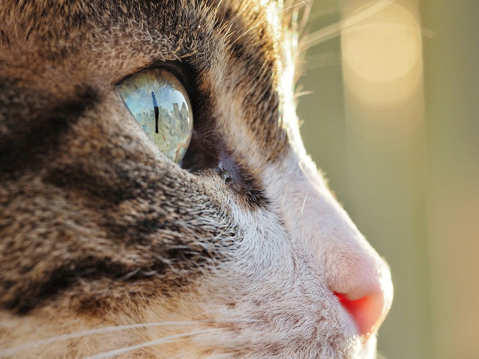 Close up of a tabby and white cat looking away from the camera