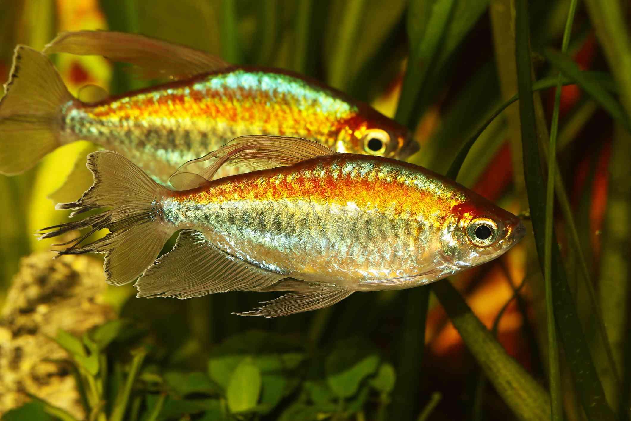 Two Congo Tetra