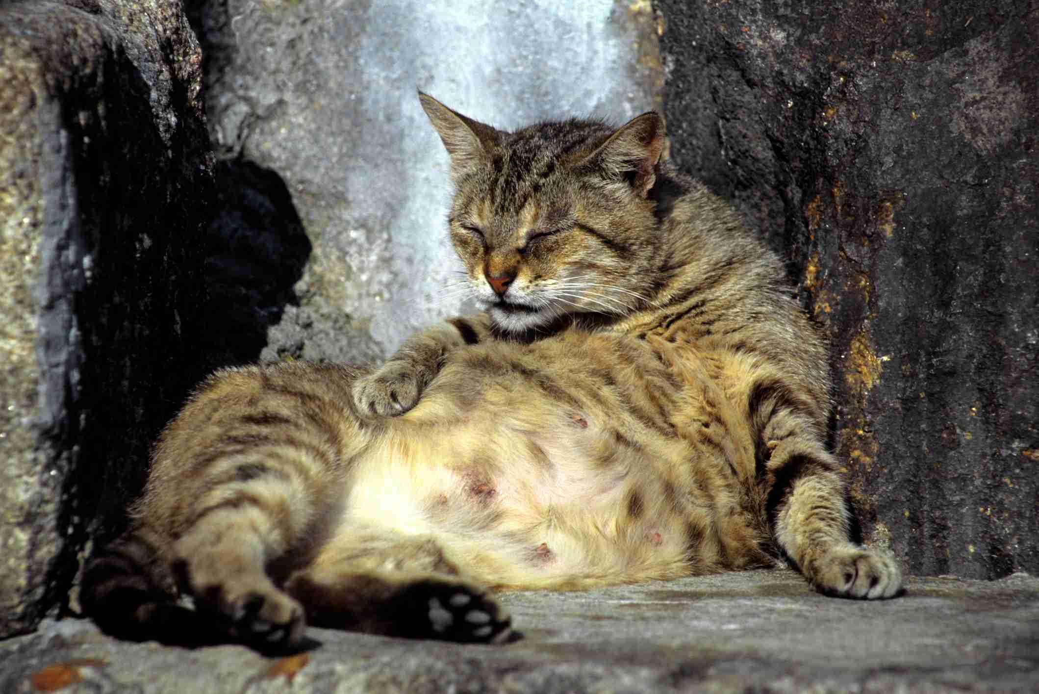 Anidando, gato ansioso al final del embarazo