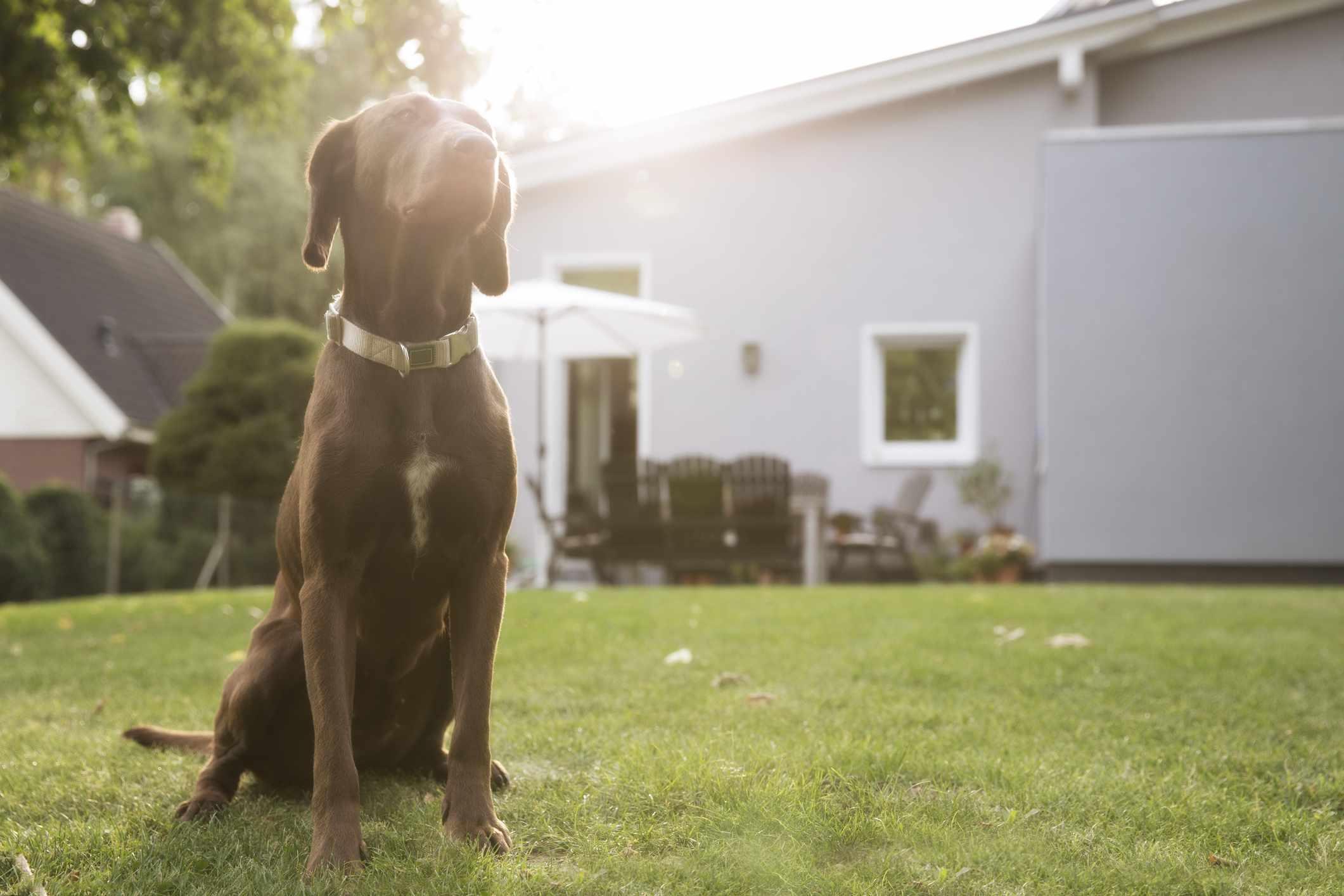 Big brown dog sitting in grass in backyard.