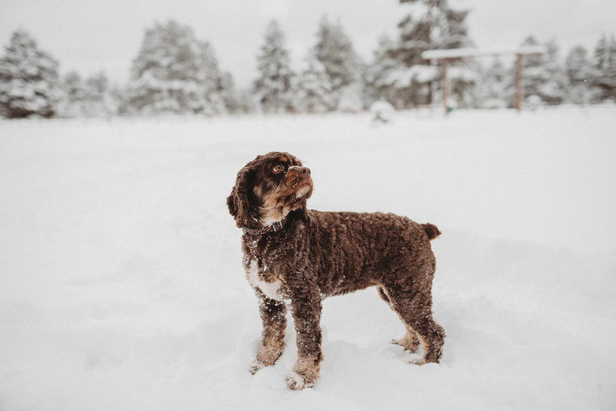 A black, curly-haired dog in the snow.