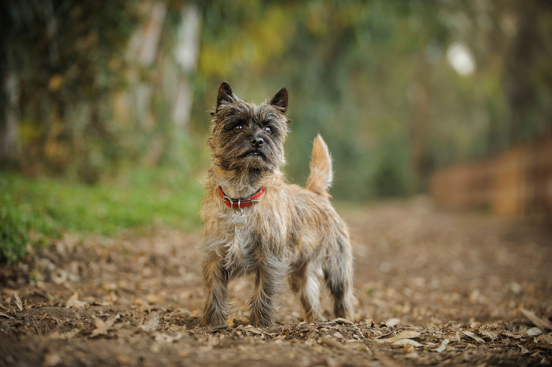 Cairn Terrier: Dog Breed Profile