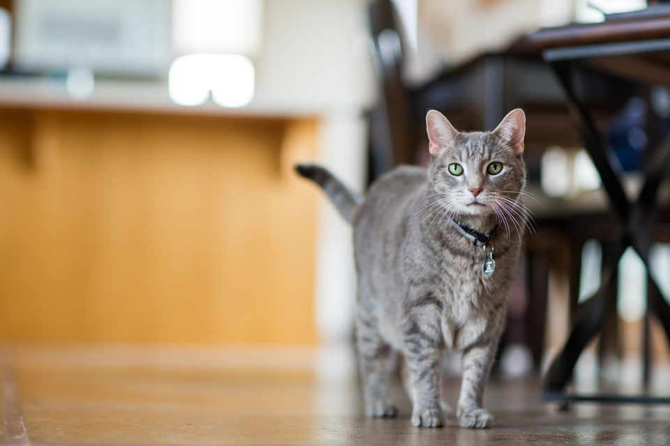 Pretty gray cat with green eyes in home