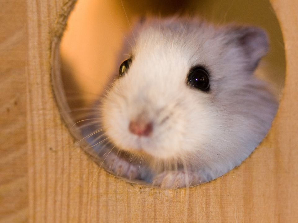 Dwarf hamster taking a peek