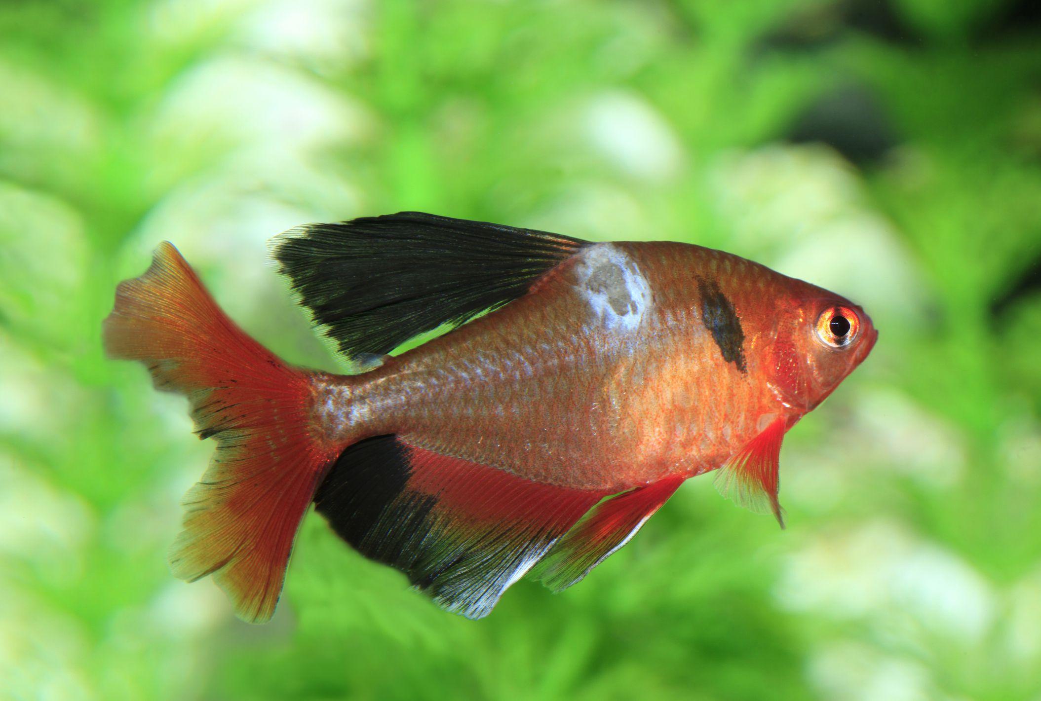 Saprolegnia in Freshwater Fish