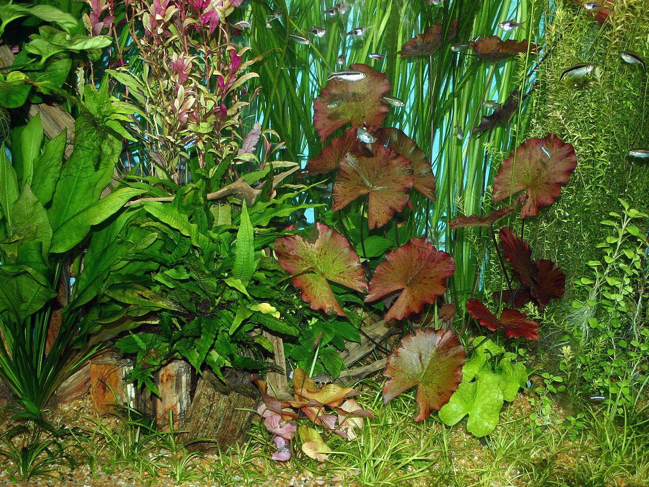 Using Live Plants In Your Home Aquarium