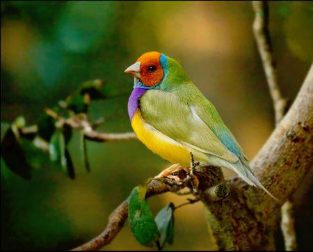 Gouldian Finch Bird Species Profile