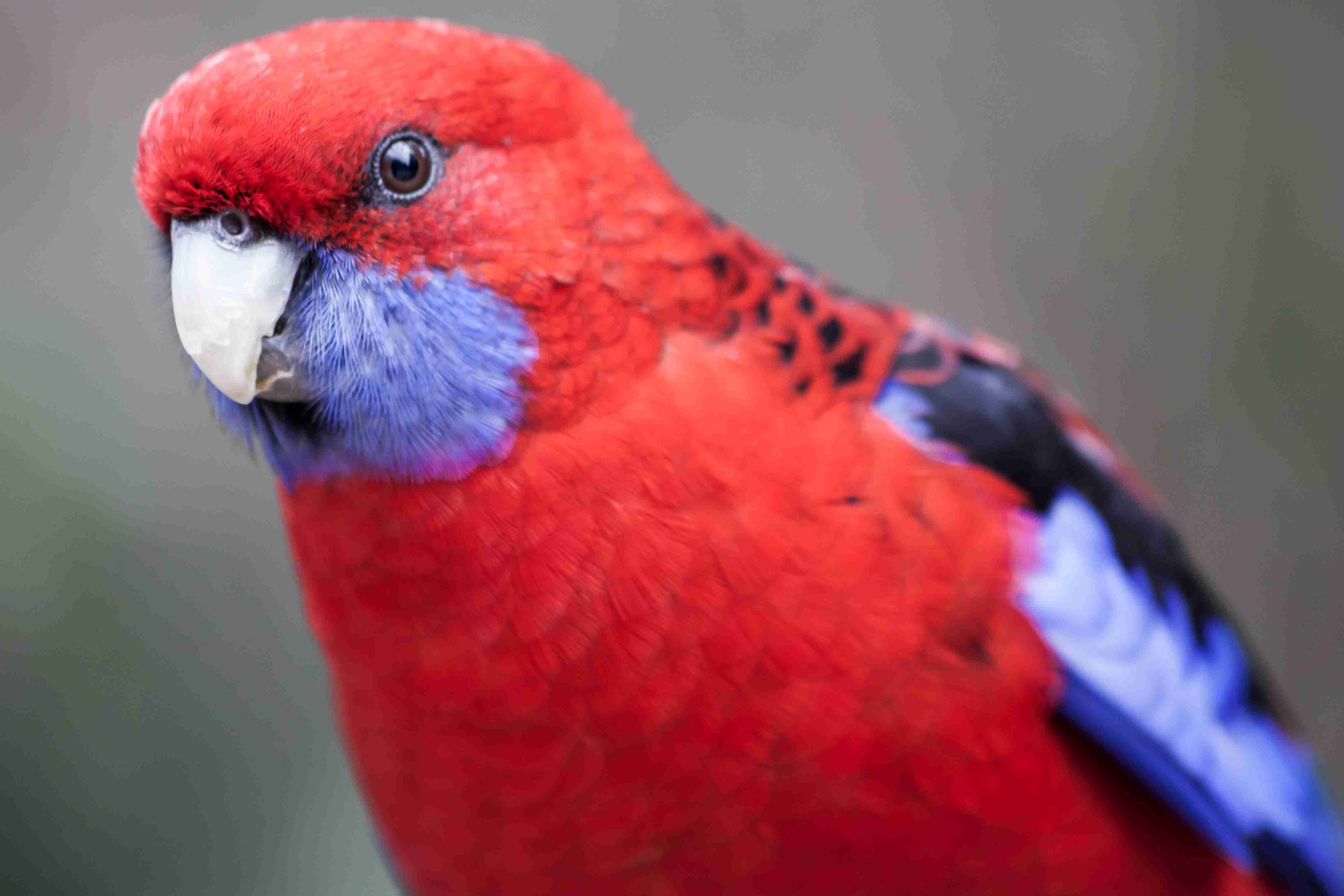 Crimson rosella red parrot birds by thevetscare.com