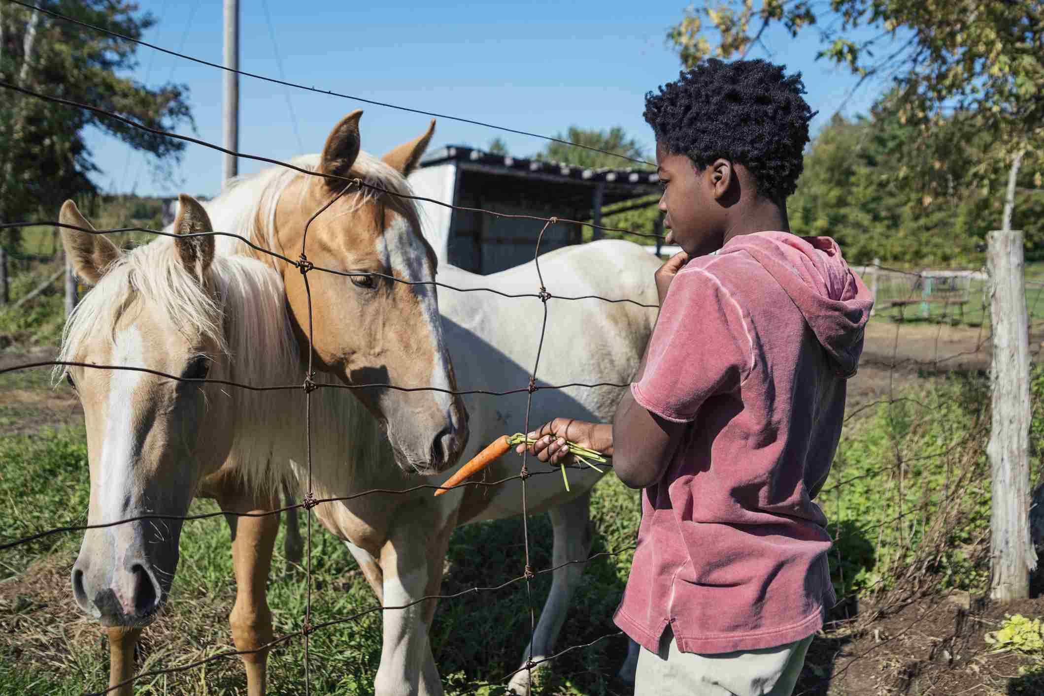 boy feeding horses behind a fence.