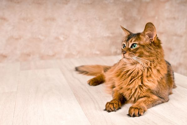 Rust-colored Somali cat on the floor.