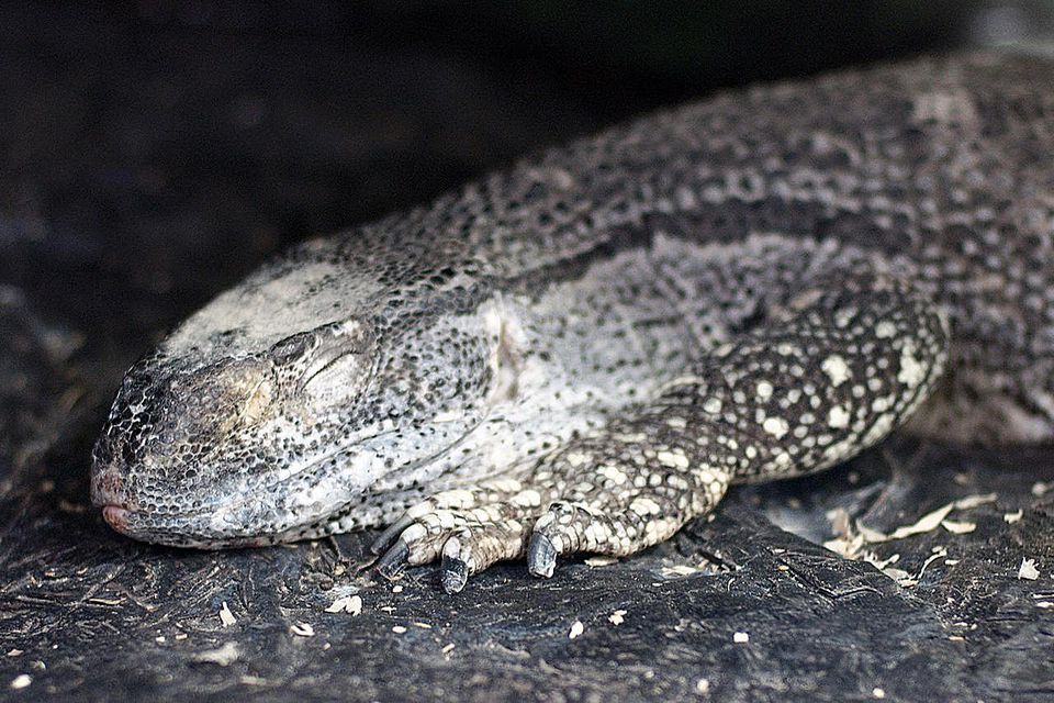 Black throat monitor sleeping. From East Bay Vivarium in Berkeley, California, USA.