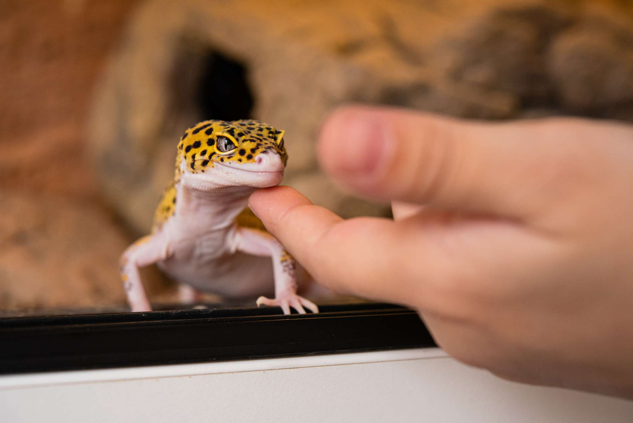Leopard gecko being rubbed on the chin.