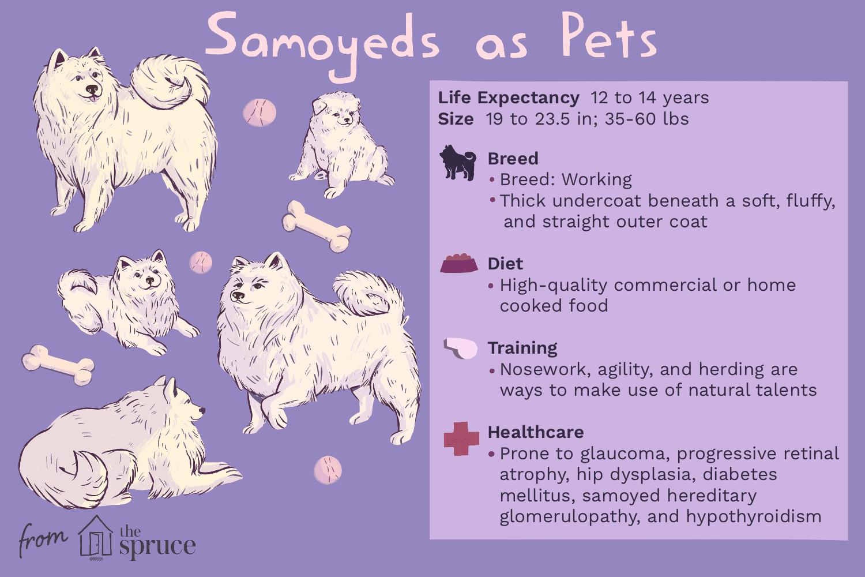 Samoeds como ilustración de mascotas