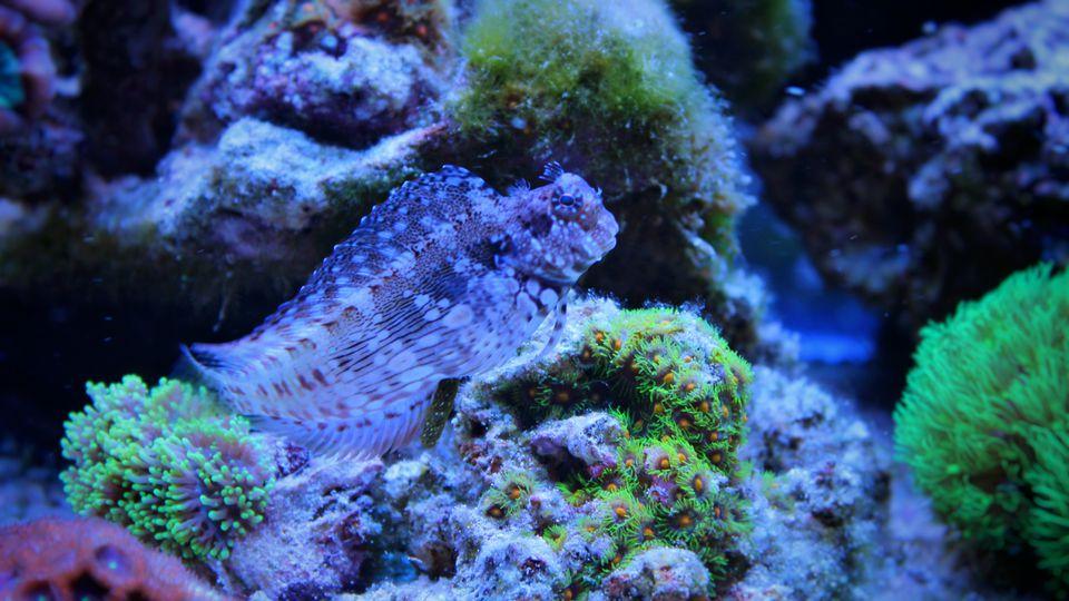 Algae blenny (Salarias fasciatus)
