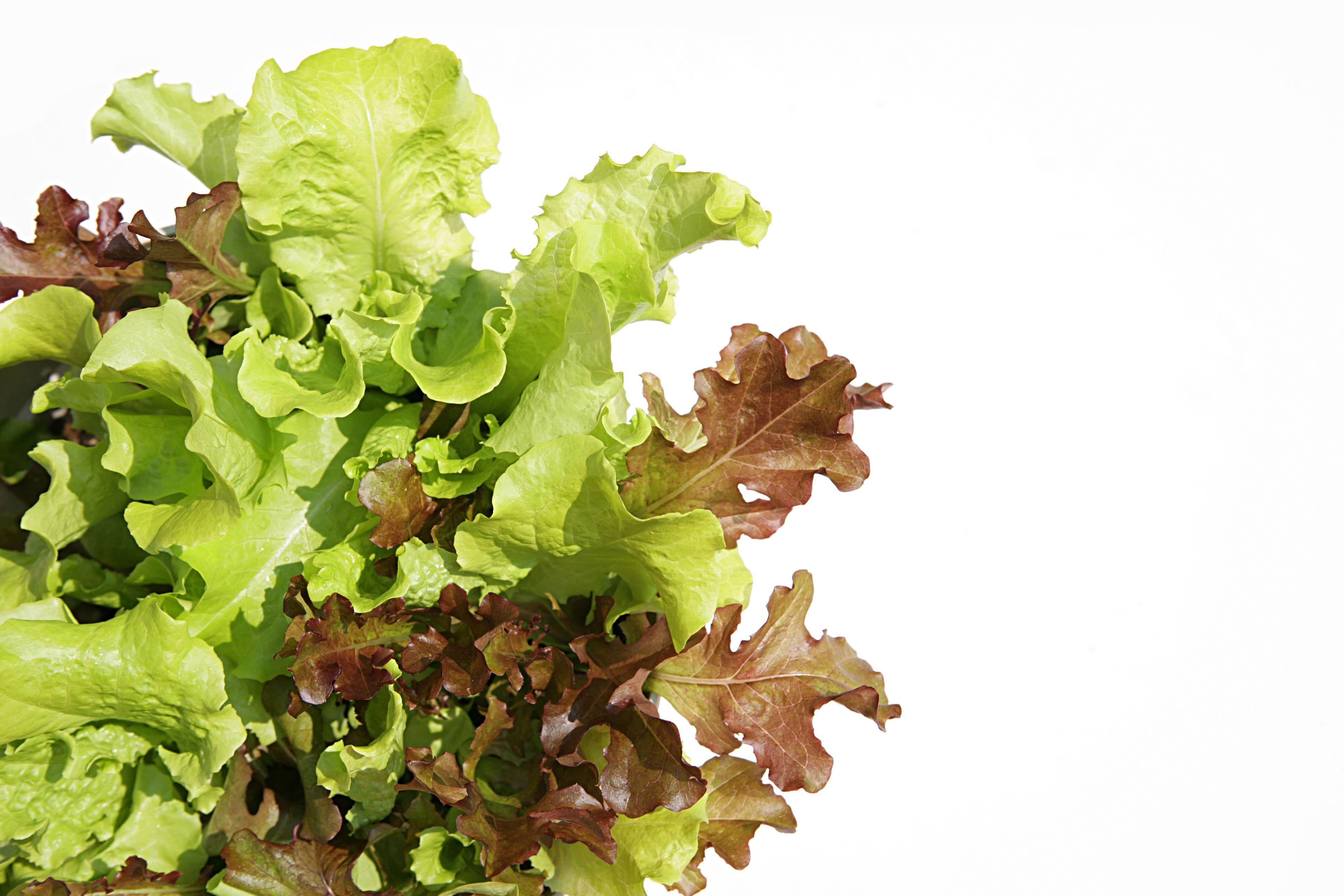 close up of Fresh Leaf Lettuce