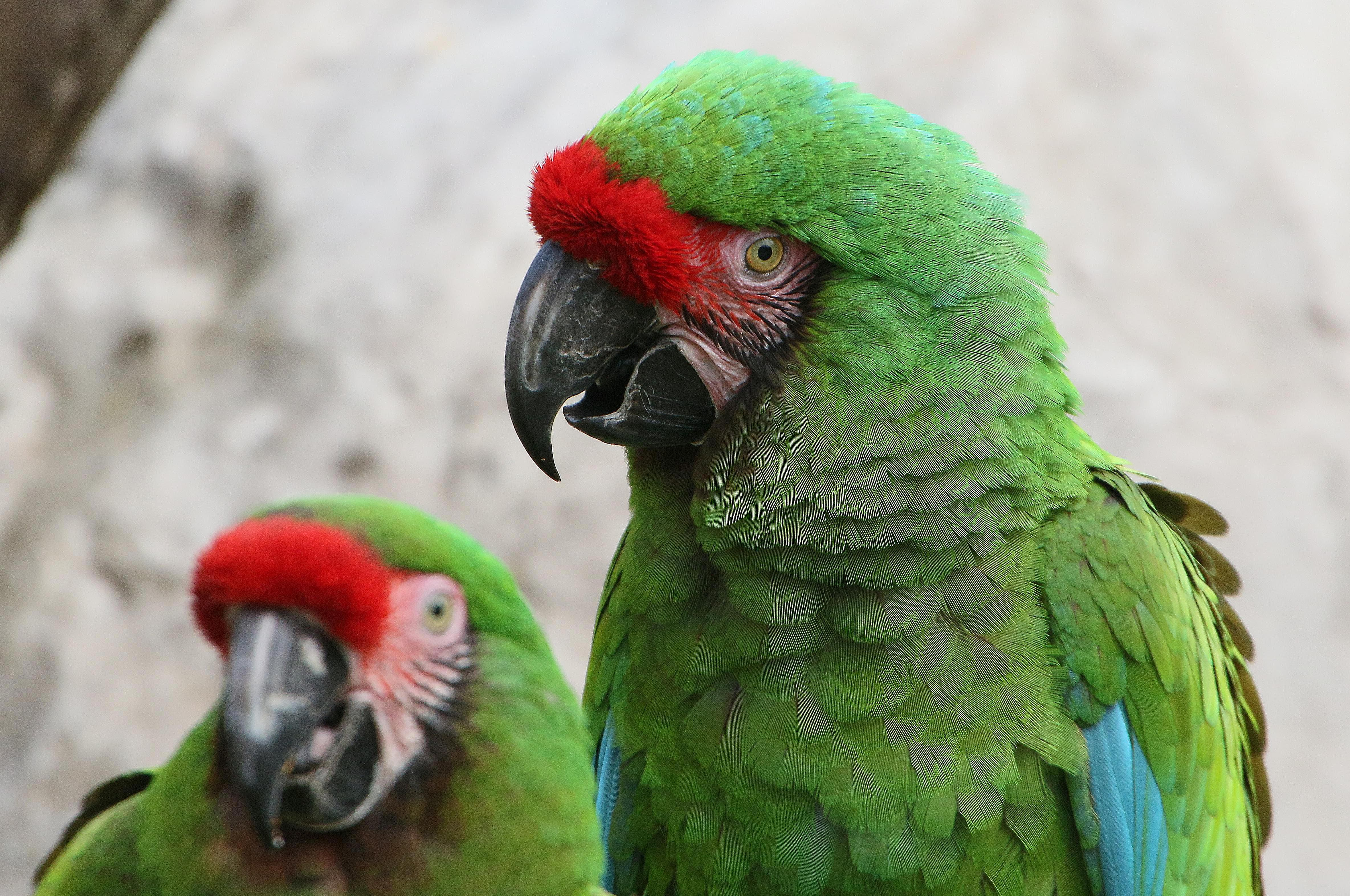 Military Macaw Duo