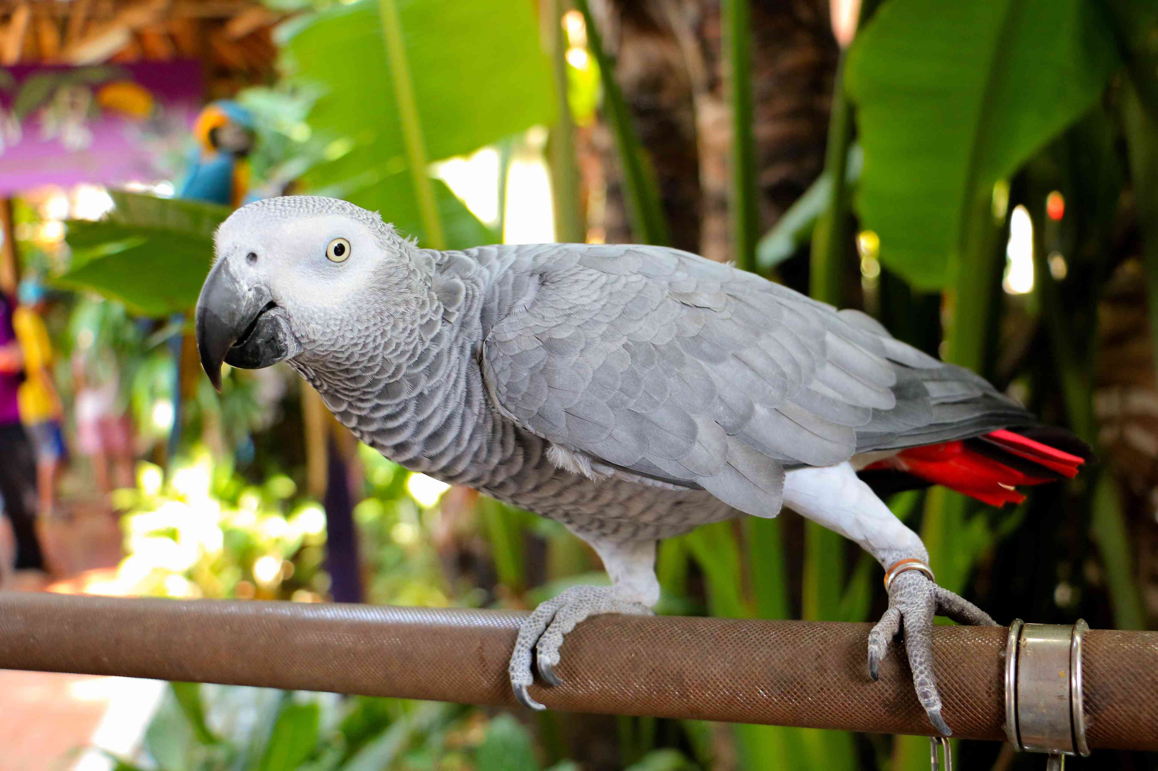 African grey on a perch red parrot birds by thevetscare.com