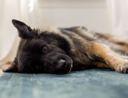German shepherd not feeling well