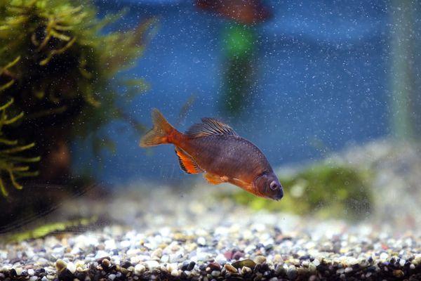 Tokyo bitterling adult male fish