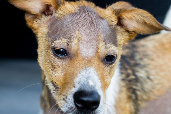 Alopecia in dogs