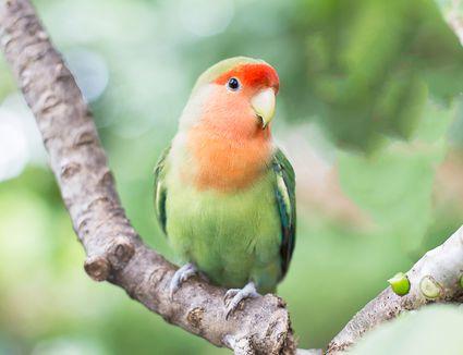 Green orange faced lovebird standing on the tree in garden