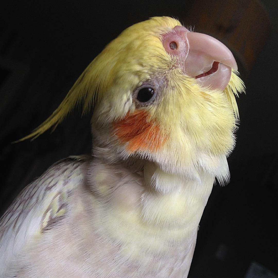 A close-up of a cockatiel.