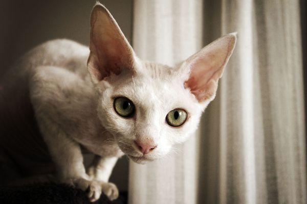 Devon Rex cat with big green eyes