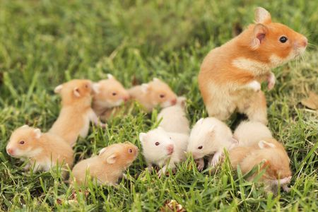 Keep Syrian Hamsters Solitary