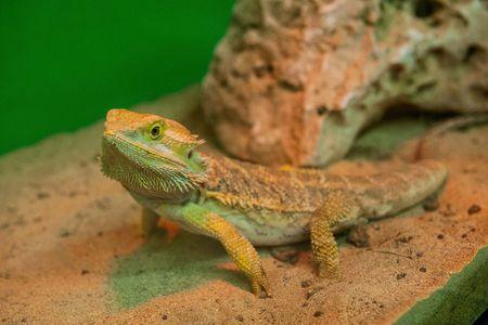 Bearded Dragon - Pet Bearded Dragons - Pet Lizards