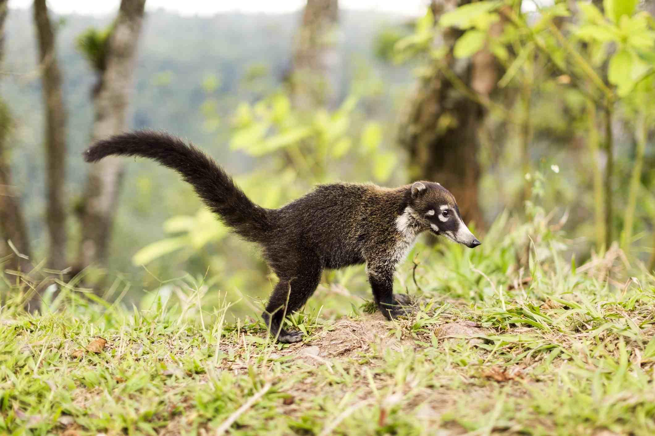 Coati en un bosque , Murciélago frugívoro egipcio colgado boca abajo