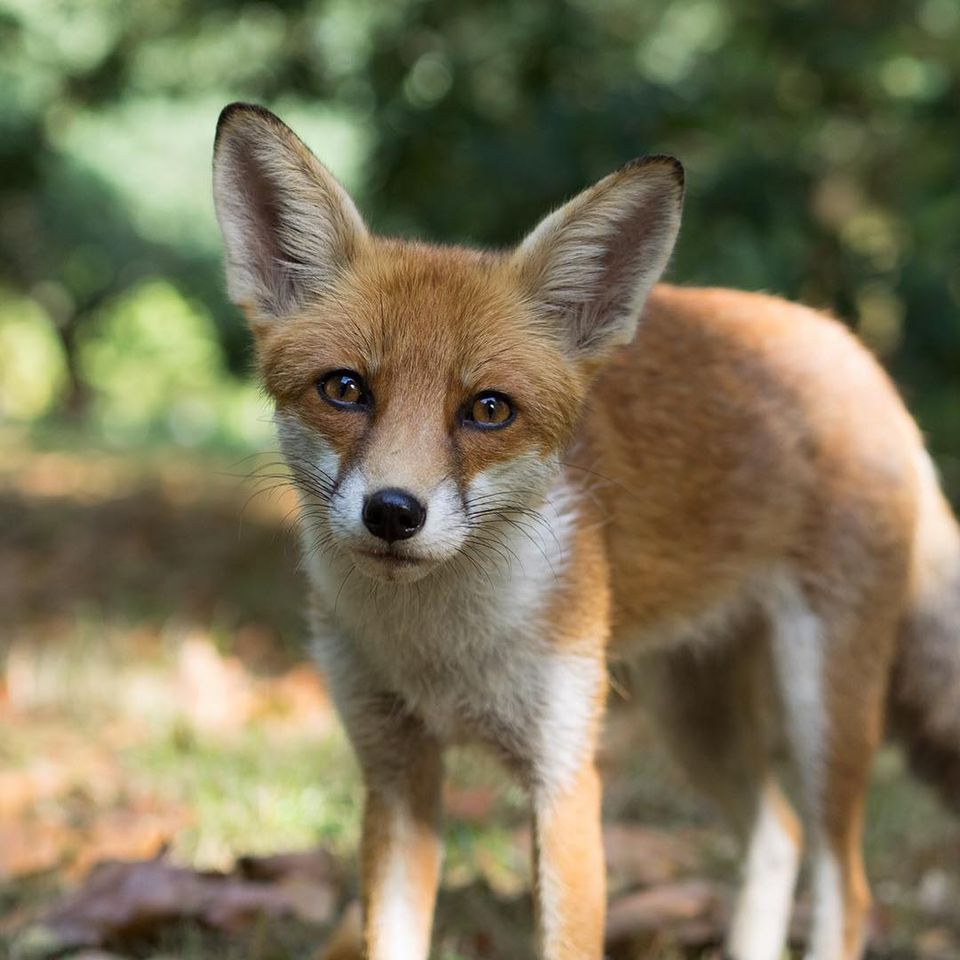 A red fox looking into the camera.
