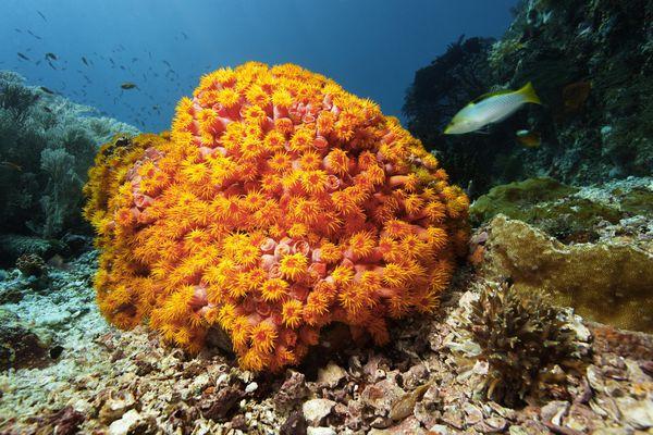 Orange cup corals